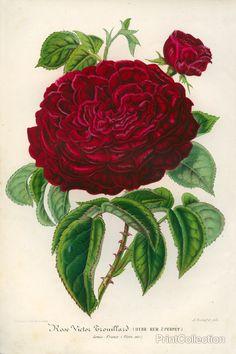 Rose Victor Trouillard