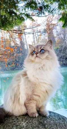 Cute Cats And Kittens, Cool Cats, Kittens Cutest, Pretty Cats, Beautiful Cats, Animals And Pets, Cute Animals, Fancy Cats, Tier Fotos