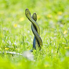 Snake's love in #green
