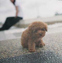 Maltipoo Puppie