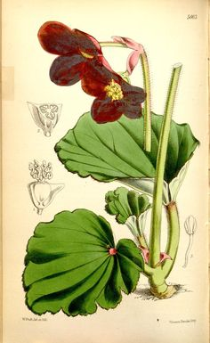 v.93=ser.3:v.23 (1867) [no.5618-5682] - Curtis's botanical magazine. - Biodiversity Heritage Library