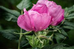 © bysahlia.com Gmunden Austria, Rose, Garden, Flowers, Plants, Graphics, Pink, Garten, Lawn And Garden