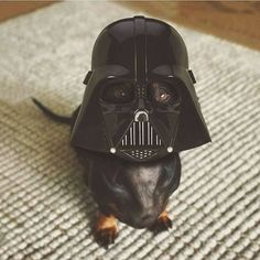 Luke, I'm your dachshund! #Dachshund