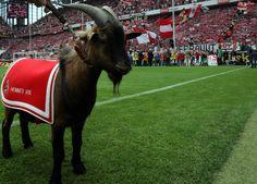 FC Köln - Hennes VIII.