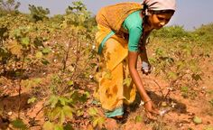Monsanto Losing Millions As Farmers In India Rebel & Plant Indigenous Cotton Seed... - http://www.ecosnippets.com/environmental/farmers-in-india-rebel-cotton-seed/