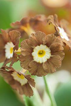 Primula Auricula 'Eden Greenfinch'