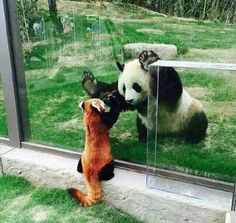 Red Panda and B&W Panda say hi.