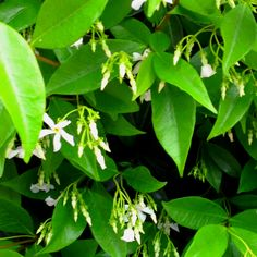 These smell GREAT. #flower #jasmine #spring