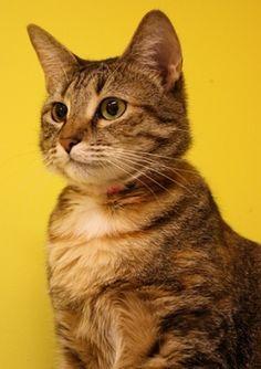 American shorthair kittens atlanta