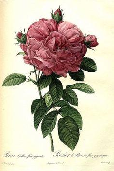 Rosa gallica di Pierre Joseph Redoutè, 1817