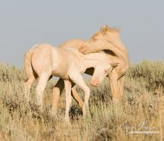 The two wild cremello colts play in the morning in the McCullough Peaks of Wyoming.