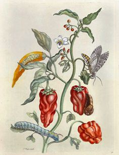 Maria Sibylla Merian - Pepper Plant, Capsicum