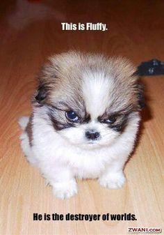 #Fluffy #Shih tzu #Humor