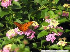 Lantanas are very attractive to butterflies. This is 'Mozelle' lantana (Lantana camara). Garden Yard Ideas, Lawn And Garden, Garden Art, Home Landscaping, Tropical Landscaping, Garden Shrubs, Garden Plants, Outdoor Plants, Outdoor Gardens