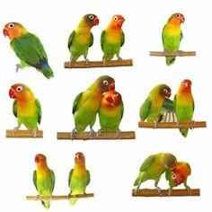 40 Ideas De Agapornis Loros Aves Aves De Compañía