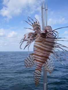 A perfect lionfish.