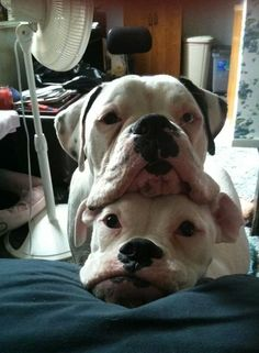 Boxer pile - silly babies always want to be in a pile, a stack, or a huddle. Love that.