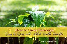 Die 40 Besten Bilder Von Garten Kurkuma Und Ingwer Pflanzen
