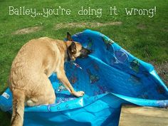 """Balley... You're doing it wrong!"" - Told to go play in the pool... ~ Dog Shaming shame - German Shepherd"
