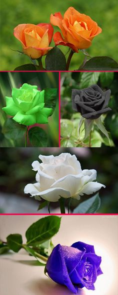 #different shades of #Roses