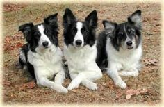 border collie pictures - Yahoo Image Search Results