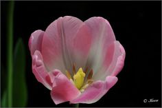 Tulip - Flickr - Photo Sharing!