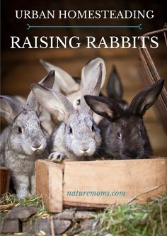 More and more urban homesteaders are getting curious about raising rabbits. It is often times the ultimate goal to become more self sufficient and rabbits can help with that. In fact they may be one of the easiest and best ways to help you further your self sufficient homestead goals. How so? Why rabbits?