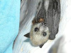 Adorable Flying Fox bat