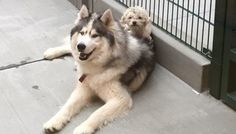 Arlo the husky and Spot the poodle were brought into the Humane Society Silicon Valley (HSSV) after Pet Dogs, Dogs And Puppies, Dog Cat, Doggies, Animals And Pets, Baby Animals, Cute Animals, Husky Poodle, Arlo Und Spot