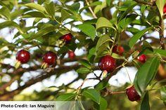 Cherry of the Rio Grande
