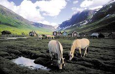 Alle fjordhester i verden stammer fra Indre Nordfjord i Norge. Foto: Olav Jakob Tveit, Fjordingen Bildet i stort format