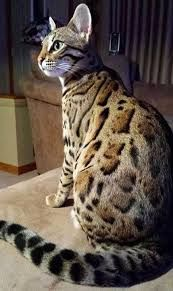 Image result for bengal cat