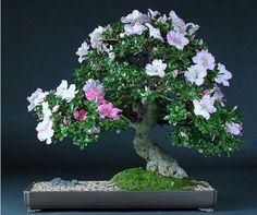 JPB:Bonsai Collection |azalea