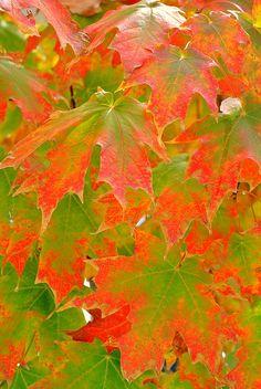 Sugar Maple Acer saccharum Photograph