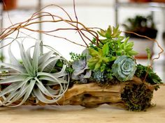 Succulents in a Driftwood Planter