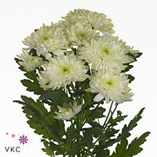 Chrysant spr. zembla lime is a multi-headed Green cut flower. Plan for your upcoming wedding or event now with Triangle Nursery   Browse our range of green wedding & event flowers  