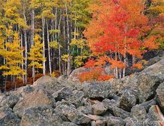 autumn in colorado   CORRM 137 - Colorful aspen trees in autumn with red and yellow leaves ...