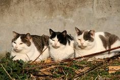 White & grey cats sunning themselves. Cat Island Japan, Three Cats, Man And Dog, Cat Party, Cat 2, Cat Love, Cool Cats, Neko, Creatures