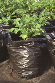 Find Sarah's tips for how to grow potatoes in a container or planting bag in your small garden space.