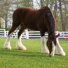 Clydesdale. The most magnificent horse. So beautiful and powerful. Someday I'm glad I got to have a whole herd of them.