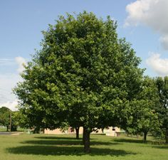 Mexican White Oak, sun or part sun moderate water Evergreen Trees, Trees And Shrubs, Austin Texas, Green Ash Tree, Autumn Blaze Maple, Fast Growing Shade Trees, White Oak Tree, Valley Nursery, Magnolia Trees