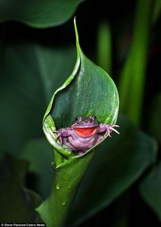 The hermit had been hiding in the deep flower while photographer Steve Passlow took snaps of the fauna. But to his surprise, the little critter reared his head just as Steve hit the shutter.And with a huge beaming smile on his face, the purple and red frog looks pretty chuffed with his acquisition