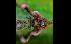 A red squirrel's reflection was perfectly captured on the still water as it drank from a pond near Hawes in North Yorkshire. Picture: Des Lloyd