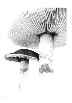 Print 'Mushroom drawing by staceyreesart on Etsy Botanical Art, Botanical Illustration, Illustration Art, Botanical Drawings, Mushroom Drawing, Mushroom Art, Juan Sanchez Cotan, Drawing Sketches, Art Drawings