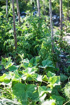 Cum Scăpăm de Mana la Roşii - Magazinul De Acasa Salvia, Garden Design, Home And Garden, Nature, Flowers, Travel, Gardening, Farming, Cottages