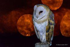 Coruja-das-torres | Barn owl | Tyto alba by alvaronunes - ViewBug.com
