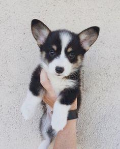 Pembroke Welsh Corgi - Alert and Affectionate Super Cute Puppies, Cute Little Puppies, Cute Dogs And Puppies, Cute Little Animals, Cute Corgi Puppy, Corgi Dog, Pet Dogs, Corgi Husky Mix, Pomeranian Puppy