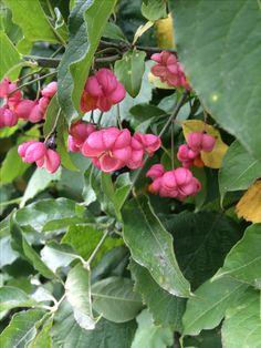 Camilla Hiley - Garden and Landscape Designer - Salisbury, Wiltshire UK Euonymus Alatus, Landscape Design, Autumn, My Favorite Things, Stone, Create, Garden, Plants, Fall