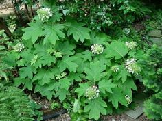 Hydrangea quercifolia Sikes Dwarf , grows to 1.2m high and wide