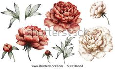 Set vintage watercolor elements of red and white peonies, collection garden flowers, leaves, illustration isolated on white background. bud and leaf, peony - Buy this stock illustration and explore similar illustrations at Adobe Stock Dandelion Flower, Peony Flower, Image Beautiful, Peony Illustration, Pin Up, Small Flower Tattoos, Flower Drawings, Girls With Sleeve Tattoos, Vintage Tattoos